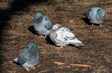 Что значит если голубь залетел в квартиру