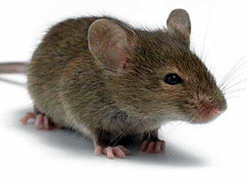 Крыса и крыса совместимость в браке