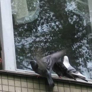 К чему голубь бьется в окно примета