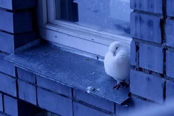 Голубь прилетел на окно примета