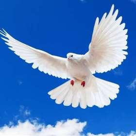 К чему бьется голубь в окно дома