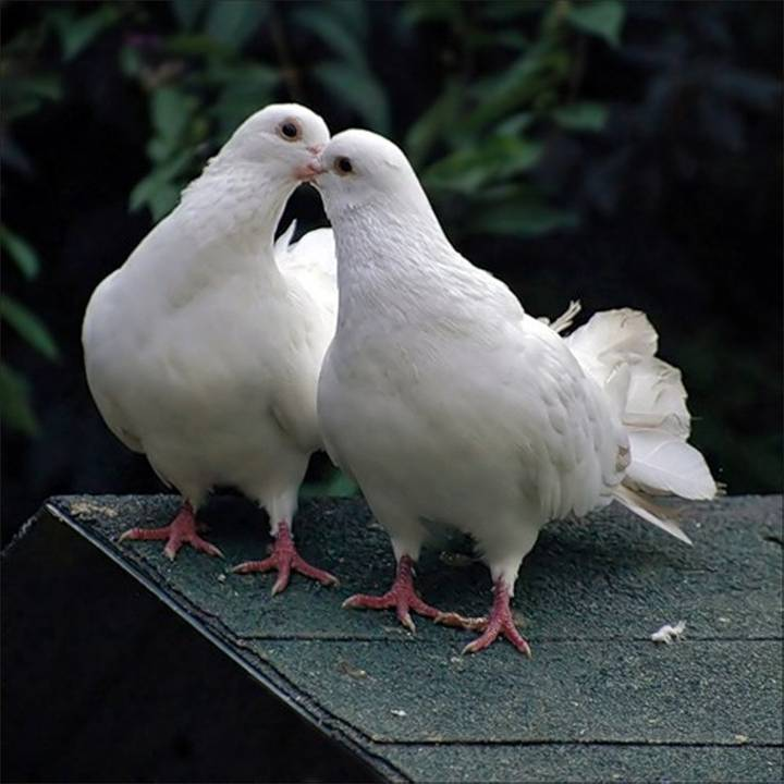 Картинки пара голубей, папе