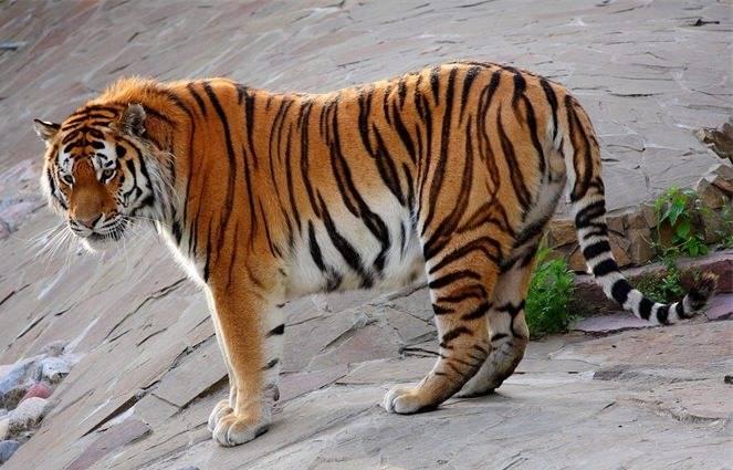 Тигр и тигр совместимость в браке