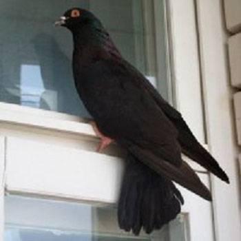 Примета голубь стучит в окно