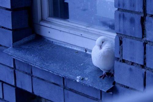 Голубь на окне примета