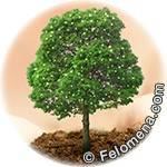Дерево водолея