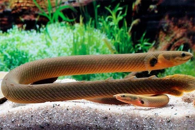 Змея рыба