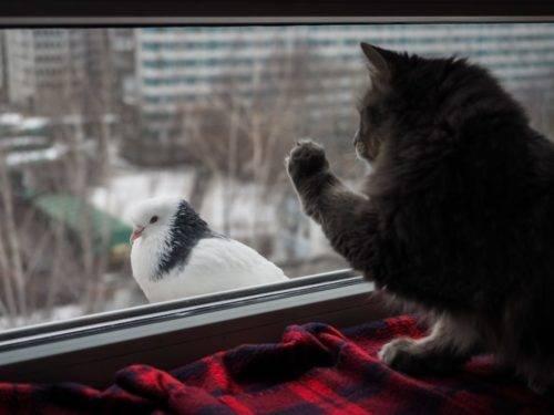 Голубь бьется в окно