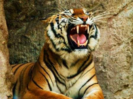 Совместимость женщина тигр мужчина тигр в любви