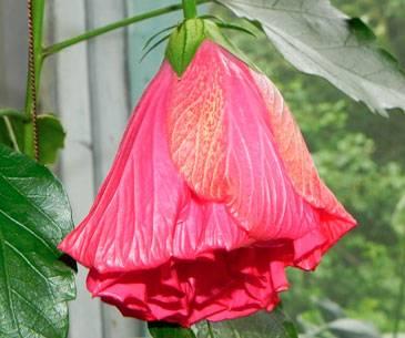 Китайская роза приметы