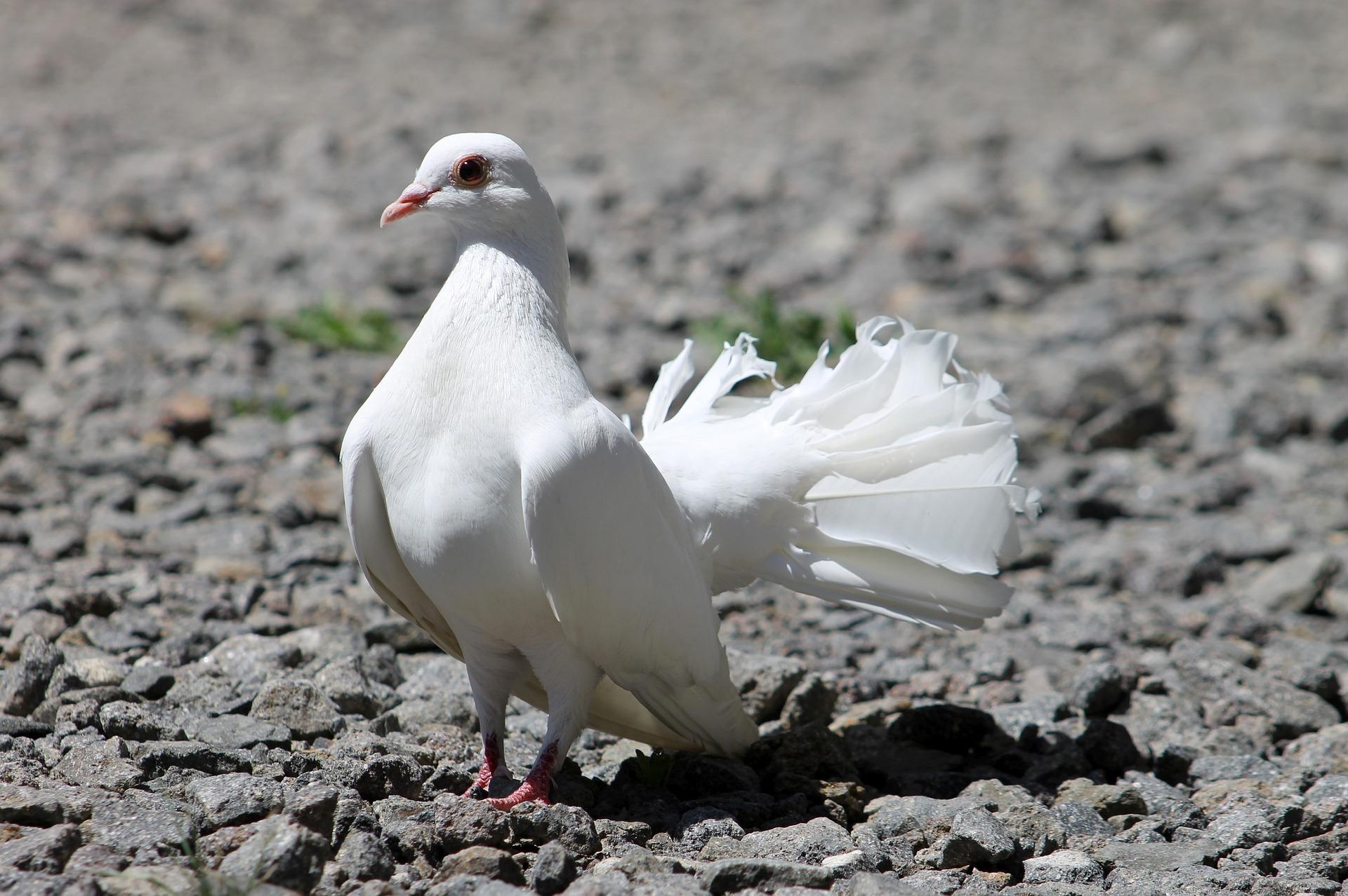 Увидеть белого голубя примета