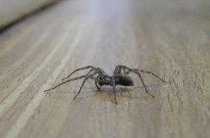 О чем говорит появление паука в помещении