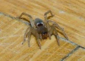 Ползущий по полу паук