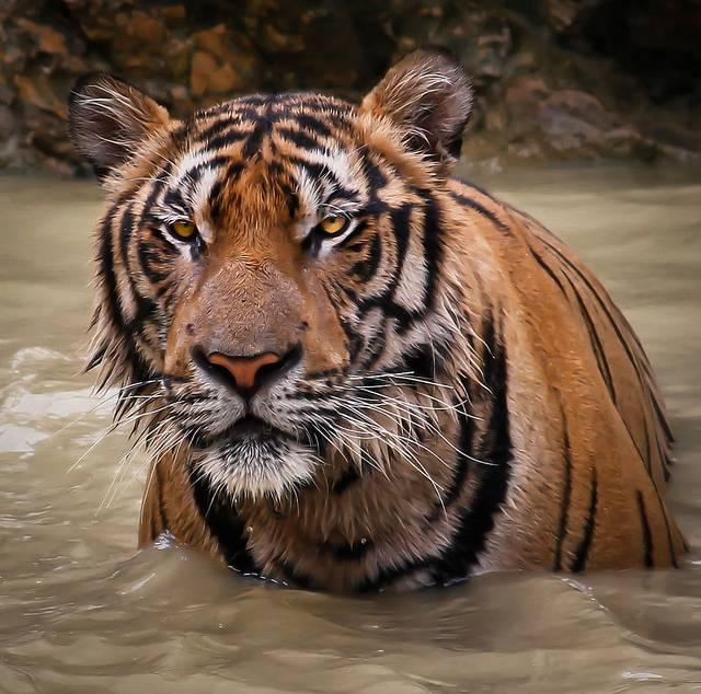 Козерог тигр