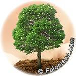 Дева дерево по гороскопу