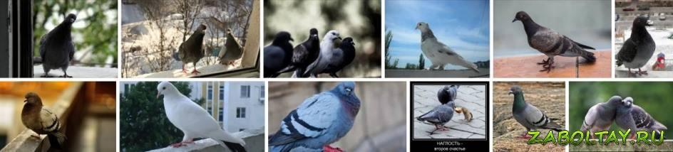 К чему прилетает голубь на окно