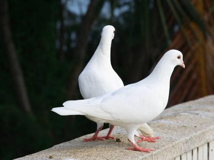 Сон белый голубь