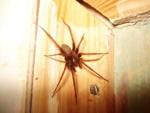Пауки которые живут в домах