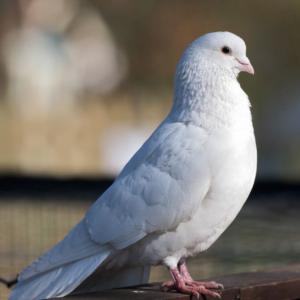 К чему залетает голубь в квартиру
