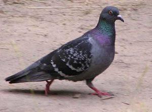 К чему сидит голубь на подоконнике