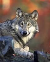 Значок волка