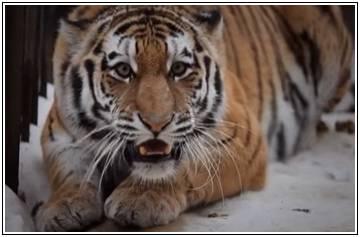 Мужчина тигр характеристика