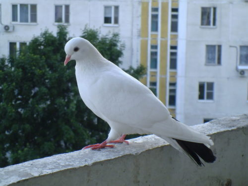 Прилетел белый голубь