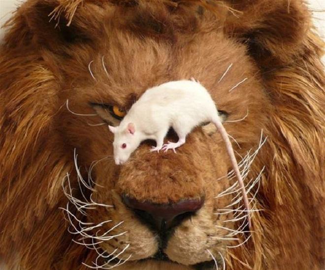 Лев крыса