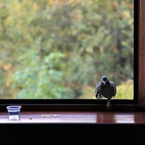 Голубь сел на карниз окна примета