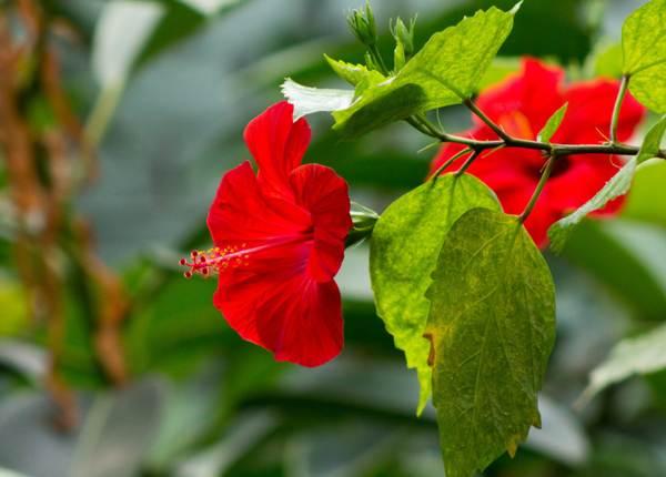 Можно ли дома держать китайскую розу