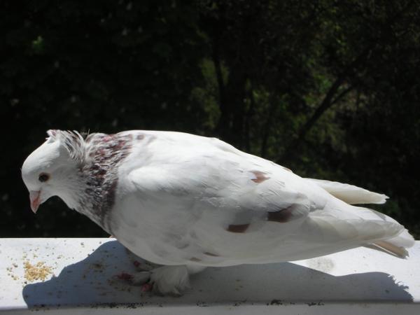 Белый голубь на подоконнике к чему